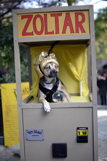 A dog dressed as a Zoltar fortune telling machine participates in the 23rd Annual Tompkins Square Halloween Dog Parade on October 26, 2013 in New York City. Thousands of spectators gather in Tompkins Square Park to watch hundreds of masquerading dogs in the countrys largest Halloween Dog Parade. (Timothy Clary/AFP/Getty Images)