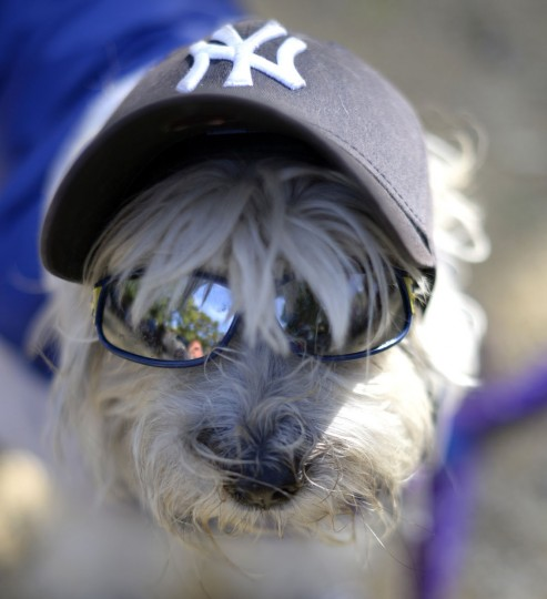 A dog dressed as a New York Yankee participates in the 23rd Annual Tompkins Square Halloween Dog Parade on October 26, 2013 in New York City. Thousands of spectators gather in Tompkins Square Park to watch hundreds of masquerading dogs in the countrys largest Halloween Dog Parade. (Timothy Clary/AFP/Getty Images)