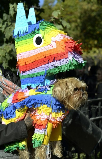 A dog dressed as a pinata participates in the 23rd Annual Tompkins Square Halloween Dog Parade on October 26, 2013 in New York City. Thousands of spectators gather in Tompkins Square Park to watch hundreds of masquerading dogs in the countrys largest Halloween Dog Parade. (Timothy Clary/AFP/Getty Images)