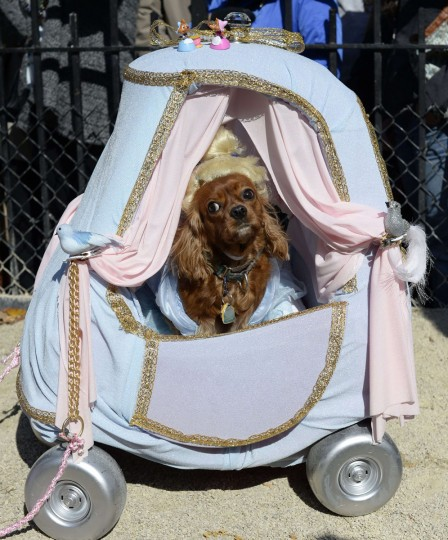 "A dog dressed as ""Cinderella"" participates in the 23rd Annual Tompkins Square Halloween Dog Parade on October 26, 2013 in New York City. Thousands of spectators gather in Tompkins Square Park to watch hundreds of masquerading dogs in the countrys largest Halloween Dog Parade. (Timothy Clary/AFP/Getty Images)"