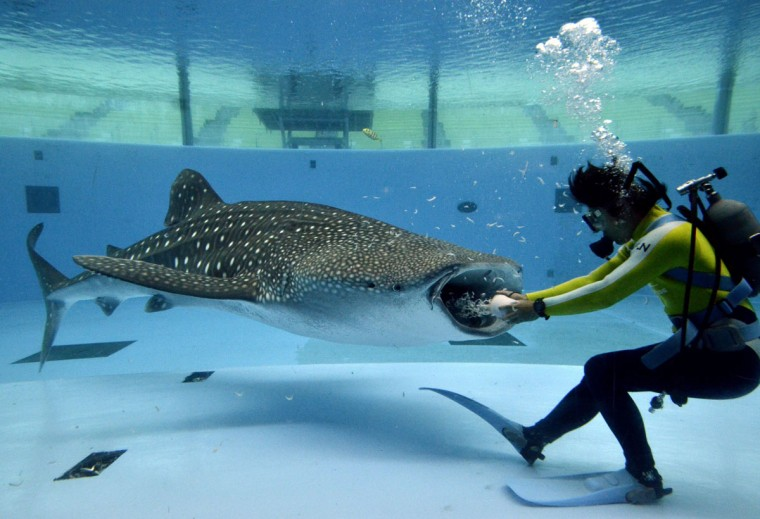 "A diver feeds to a male whale shark ""Hachibei"" for the training of a feeding show at a large fish tank at Hakkeijima Sea Paradise aquarium in Yokohama, suburban Tokyo. (YOSHIKAZU TSUNO / AFP/Getty Images)"