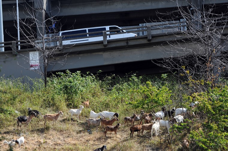 Goats clear an area under the Alaskan Way Viaduct. The Seattle Department of Transportation hired Rent a Ruminant to clear steep slopes of overgrowth. (Kim Hairston/Baltimore Sun)