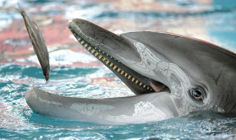 Each dolphin eats between 30-35 pounds of fish a day. (Lloyd Fox/Baltimore Sun)