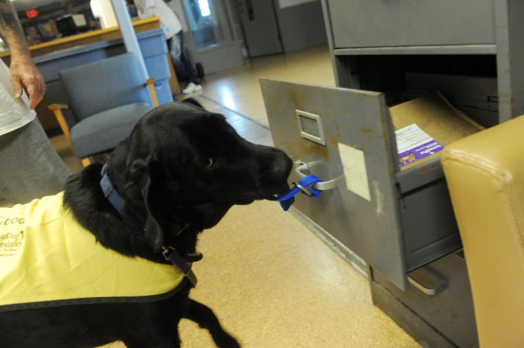 Grover, a 14 month old Labrador Retriever, opens a file cabinet door by tugging on a nylon strap. Grover is one of the future service dogs being trained by incarcerated veterans and other prisoners at Maryland Correctional Institution-Hagerstown. (Kim Hairston/Baltimore Sun)