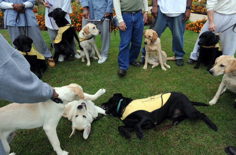 Service dogs in training get together outside Unit 2 at Maryland Correctional Institution-Hagerstown. Several incarcerated veterans and other prisoners are training the dogs for wounded service people. (Kim Hairston/Baltimore Sun)