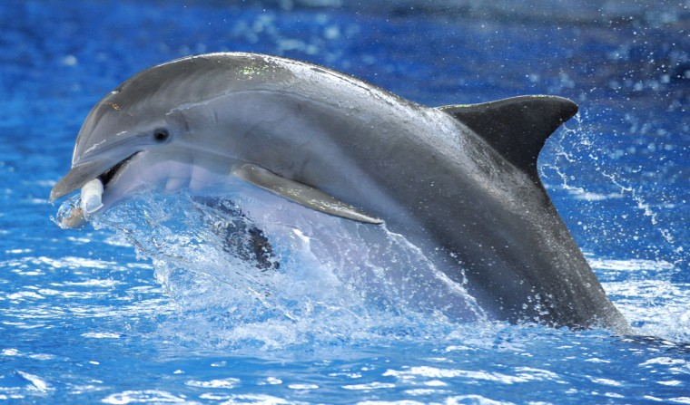 The dolphins at the aquarium have daily enrichment and training that the public can view. (Lloyd Fox/Baltimore Sun)