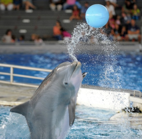 A ball is used as a reward during a training session. This dolphin throws the ball back to the trainer after retrieving it. (Lloyd Fox/Baltimore Sun)