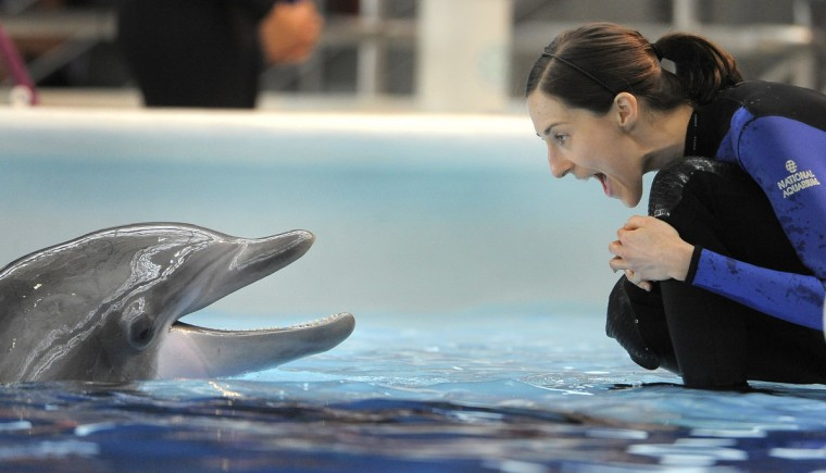 Dolphin trainer Kerry Martens working with one of the eight dolphins at the National Aquarium in Baltimore. (Lloyd Fox/Baltimore Sun)