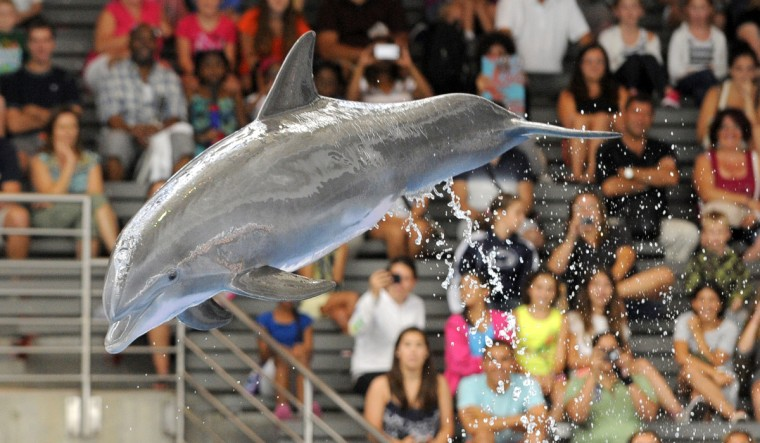 The dolphins at the aquarium all get stimulation through training sessions throughout the day. (Lloyd Fox/Baltimore Sun)