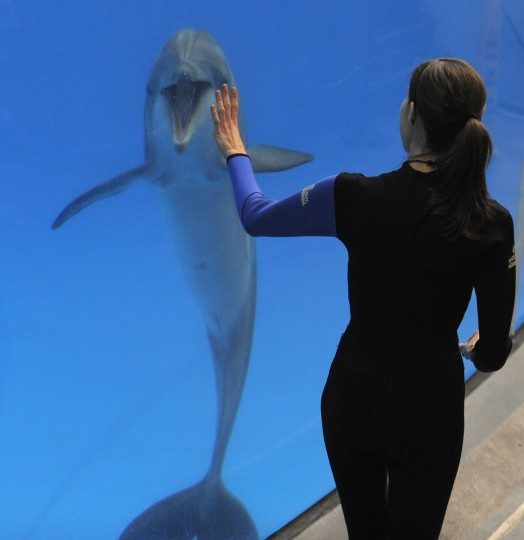 The dolphins learn to interact with the trainers. (Lloyd Fox/Baltimore Sun)