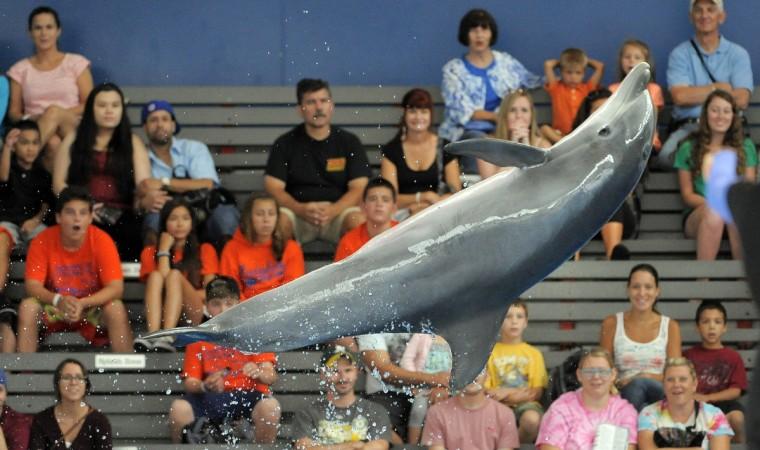 A dolphin performs an aerial maneuver for the spectators. Lloyd Fox/Sun Photographer #8638