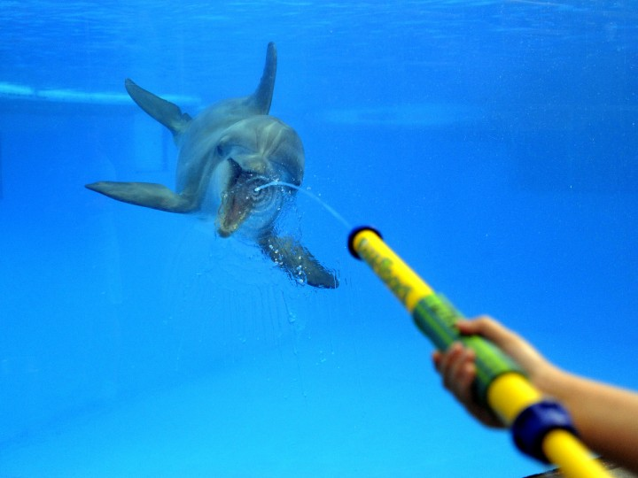 A water toy is used to squirt water against the clear aquarium wall as a dolphin on the other side tries to catch the spray. (Lloyd Fox/Baltimore Sun)