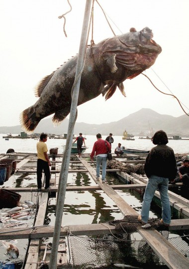 A large fish, killed by the red tide, hangs as a reminder over a floating fish farm emptied by the toxic effects of the scourge in Hong Kong's Lamma Island. (ROBYN BECK / AFP/Getty Images)