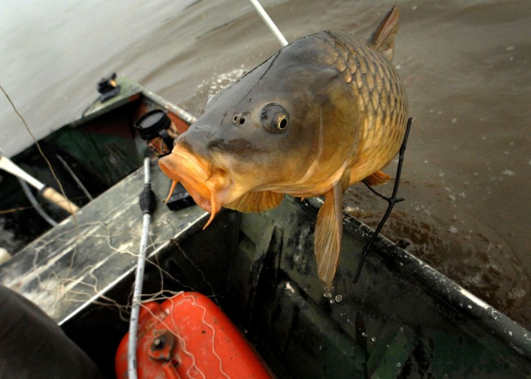 Dangling from an arrow, a large carp is hauled into the boat by Dave Malone while bow fishing with his father George Malone on the Back River in Essex. (GLENN FAWCETT / SUN STAFF)