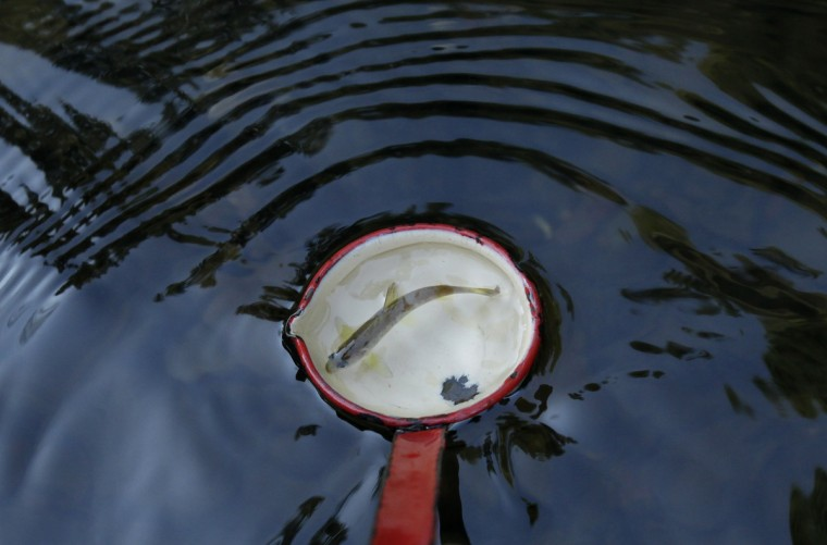 A salmon fry swims in a ladle as it is released into the Kamenice river near the village of Jetrichovice . Members of Czech Fishing Union and Bohemian Switzerland National Park release salmon every year to Kamenice river as part of the reintroduction programme kicked-off in 1998. The programme is aimed at stabilising the salmon population in the Czech Republic and at reintroducing the fish to rivers after almost 50 years of absence caused by massive industrial pollution during the communist era. (David W Cerny/Reuters)