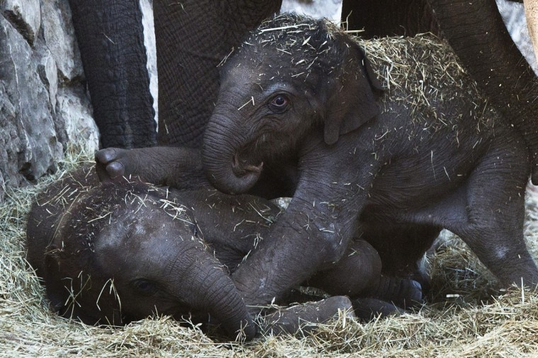 A newly born female Asian elephant calf (L) lies next to two-months-old female calf Latangi in their enclosure at the Ramat Gan Safari Zoo, near Tel Aviv. A statement from the zoo said the yet unnamed calf was born early morning on Wednesday and weighs about 90 kg (some 200 pounds). (Nir Elias/Reuters photo)