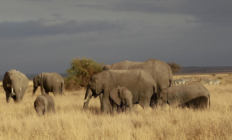 A family of elephants graze during a census at the Amboseli National Park, 290 km (188 miles) southeast of Kenya's capital Nairobi, October 9, 2013. Kenyan and Tanzanian governments are conducting a joint aerial count of elephants and other large mammals in the shared ecosystem of the Amboseli- West Kilimanjaro and Natron- Magadi landscape. The census will cover a 25,623 square kilometer area including 9,214 square kilometers of the Amboseli area, 6348 square kilometers of the Namanga-Magadi areas in south-western Kenya and 3,013 square kilometers of the West Kilimanjaro and 7,047 square kilometers of the Natron areas in North Tanzania. (Thomas Mukoya/Reuters)