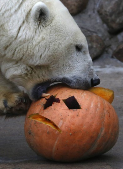 A polar bear called Uslada eats a carved pumpkin during a Halloween celebration at the zoo in St. Petersburg, October 26, 2013. (Alexander Demianchuk/Reuters photo)