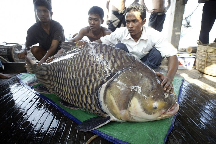 Cambodian fishermen pose with a giant carp caught on the Tonle Sap River on Nov. 6, 2003, about 10 kilometers (6 miles) north of Phnom Penh, Cambodia. Scientist Zeb Hogan is visiting 10 rivers worldwide looking for about 20 species of hulking fish, in order to find the biggest fish. (AP Photo/Andy Eames)
