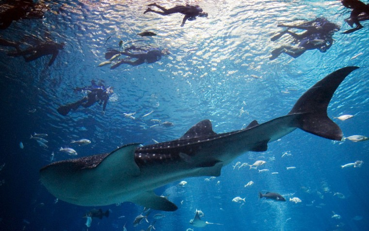 A whale shark swims beneath service members and veterans as they are guided on a swim in the tank of the Georgia Aquarium on Thursday, May 1, 2008, in Atlanta. (AP Photo/John Amis)