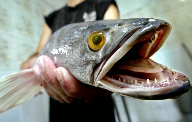 A worker at the Khaiseng Fish Farm displays a snakehead fish, which has been harvested and put on its way to a Singaporean dinner table, July 27, 2002, in Singapore. (AP Photo/Ed Wray, file)