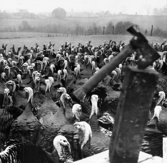 A host of turkeys congregates at C. Ellsworth Iager's Maple Lawn Farm in Fulton in November 1954. In the foreground is a grim reminder of the fate awaiting them at this time of year. (William L. Klender/Baltimore Sun)