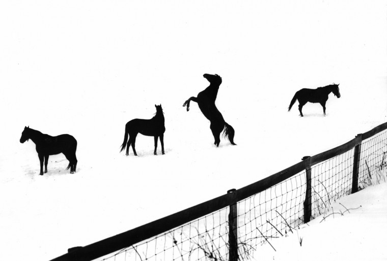 While most of the horses at My Lady's Manor near Monkton stand in the winter cold as patient silhouettes, one of their number frolics gleefully after a 10-inch snowfall in February 1964. (Robert F. Kniesche/Baltimore Sun)
