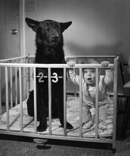 In this photo from May 1959, nine-month-old William Kerbe, a grandson of city police Sgt. William Kerbe, shares his playpen with Kirke, a police dog, in his Howard County home. (Richard Stacks/Baltimore Sun)