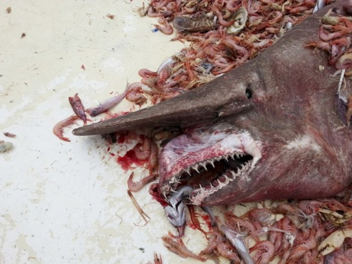 Shrimpers fishing in the Gulf of Mexico caught an incredibly rare, almost prehistoric-looking goblin shark. It's only the second sighting of such a beast in the Gulf. (Photo courtesy of Carl Moore & NOAA)