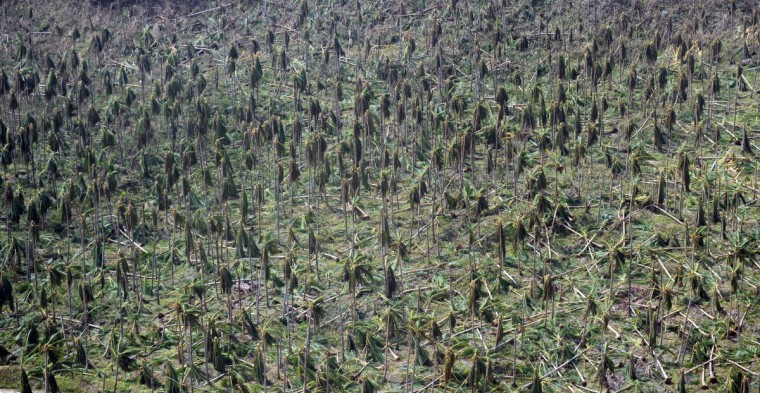 This aerial photo shows destroyed coconut trees in a mountainous area near the town of Guiuan in Eastern Samar province, the central Philippines, on November 11, 2013, only days after Super Typhoon Haiyan hit the town on November 8. Philippines rescue workers struggled to bring aid to famished and destitute survivors on November 11 after the super typhoon that may have killed more than 10,000 people, in what is feared to be the country's worst natural disaster. (Ted Aljibe/Getty Images)