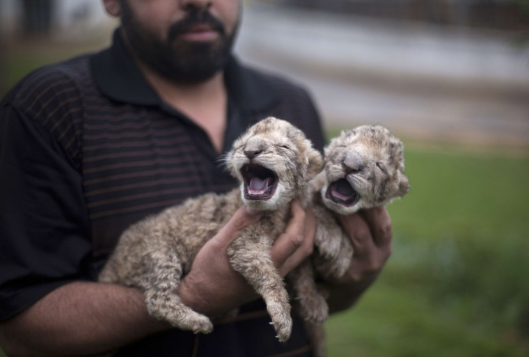 Two-day-old lion cubs Fajr and Sjel are seen at a zoo in the northern Gaza Strip town of Beit Lahia. The cubs' mother and father were smuggled into the Gaza Strip from Egypt four years ago to live in a Hamas-run public zoo. It is the first time in years that cubs are born in the Palestinian coastal enclave. (Mohammed Abed/Getty Images)