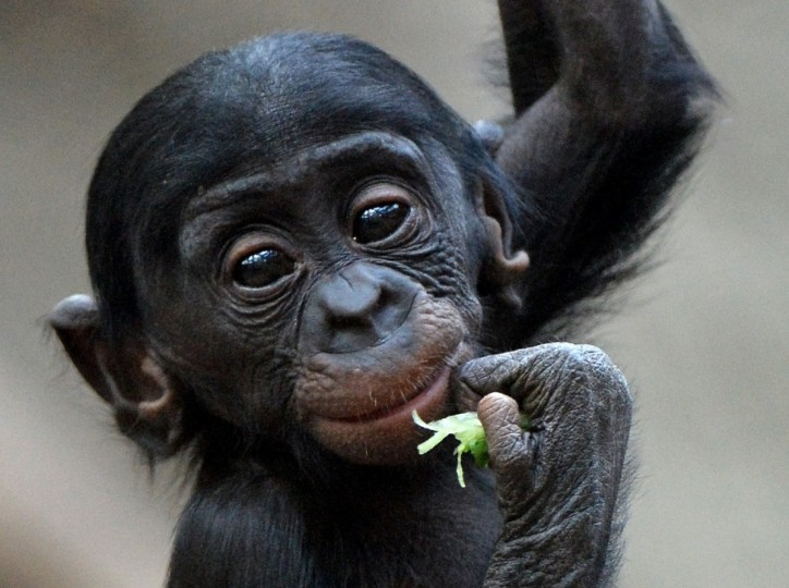 Bonobo baby Kasai climbs in the Zoo in Leipzig, Germany. The baby was born in January. (Hendrik Schmidt/Getty Images)