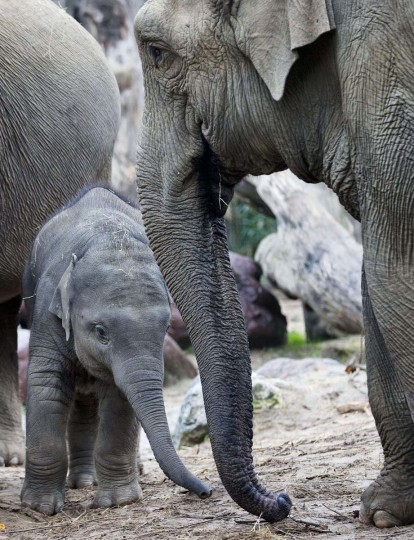 Young elephant Kyan (L) celebrates his first birthday in Amersfoort Zoo, on November 1, 2013, in Amersfoort, The Netherlands. A year ago his birth was followed via webcams. (Jerry Lampen/AFP/Getty Images)
