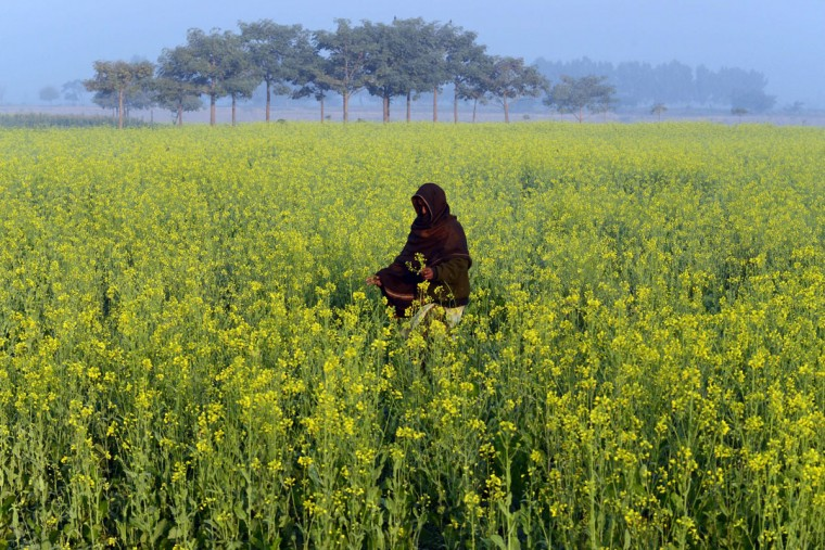 A Pakistani walks through a field of mustard flowers on the outskirts of Lahore on November 28, 2013. (Arif Ali/AFP/Getty Images)