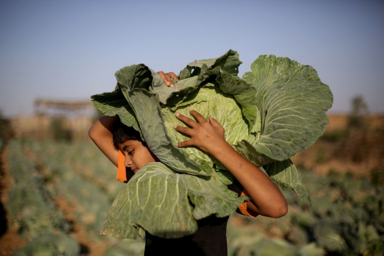 A Palestinian boy works at his father's cabbage field near the northern Gaza Strip refugee camp of Jabalia, on November 28, 2013. (MOHAMMED ABED/AFP/Getty Images)