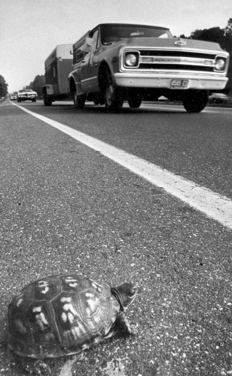7/13/1973 - Annapolis, MD - A turtle waits patiently for a break in traffic on Ritchie Highway near Annapolis. (Weyman Swagger/Baltimore Sun)