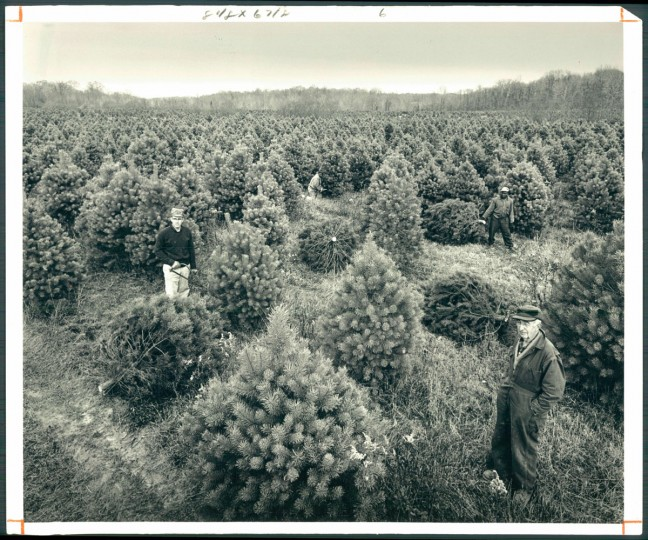 Christmas trees are grown on the Holly Hills Farm of B.H. Brockley in Earleville, Cecil County. Baltimore Sun Photo by William L Klender