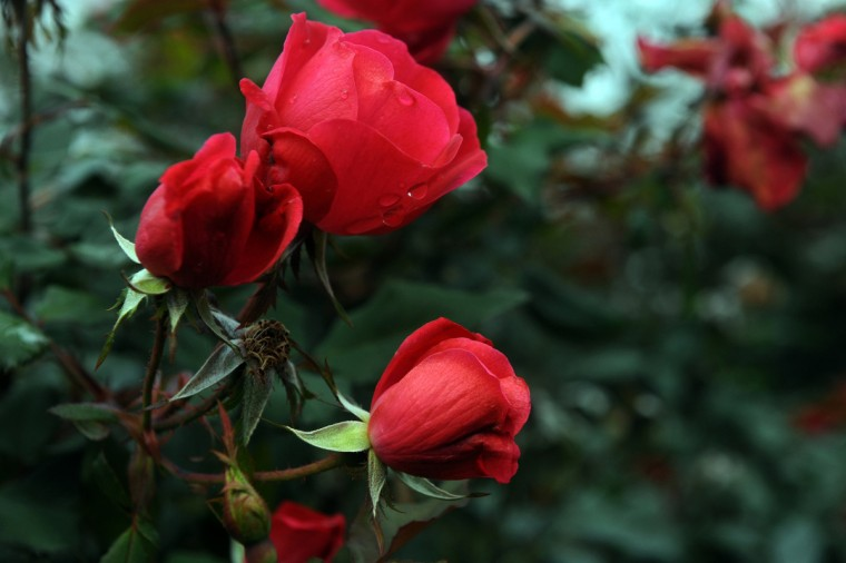 "Rosa ""Knockout"" roses in various stages adorn the Rose Garden at Ladew Topiary Gardens. (Kim Hairston/Baltimore Sun)"