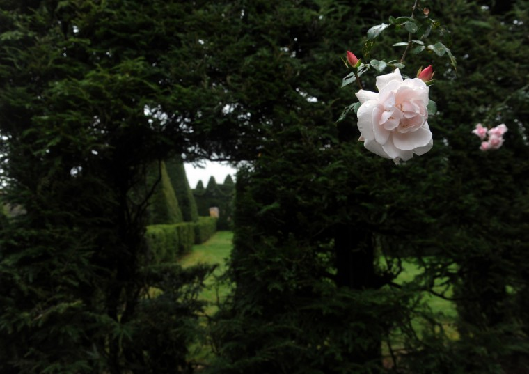 "A Rosa ""New Dawn"" rose in bloom contrasts against the dark evergreen shrubs and trees at Ladew Topiary Gardens. (Kim Hairston/Baltimore Sun)"
