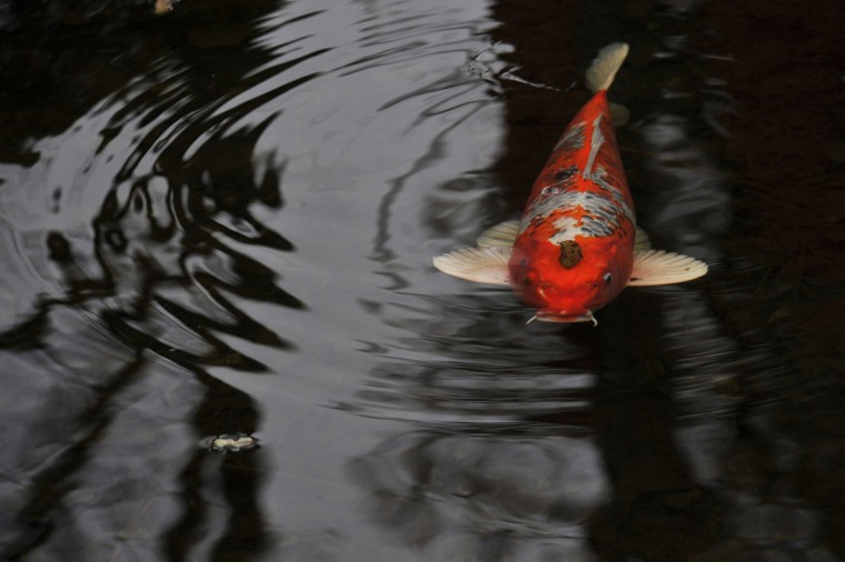 A koi swims under a leaf in an Iris Garden pond at Ladew Topiary Gardens. (Kim Hairston/Baltimore Sun)