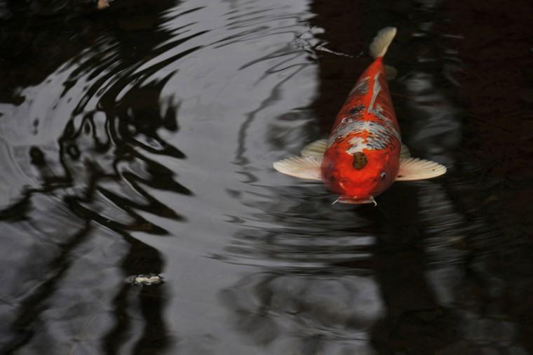 A koi swims under a leaf in an Iris Garden pond at Ladew Topiary Gardens. (Kim Hairston/Baltimore Sun)