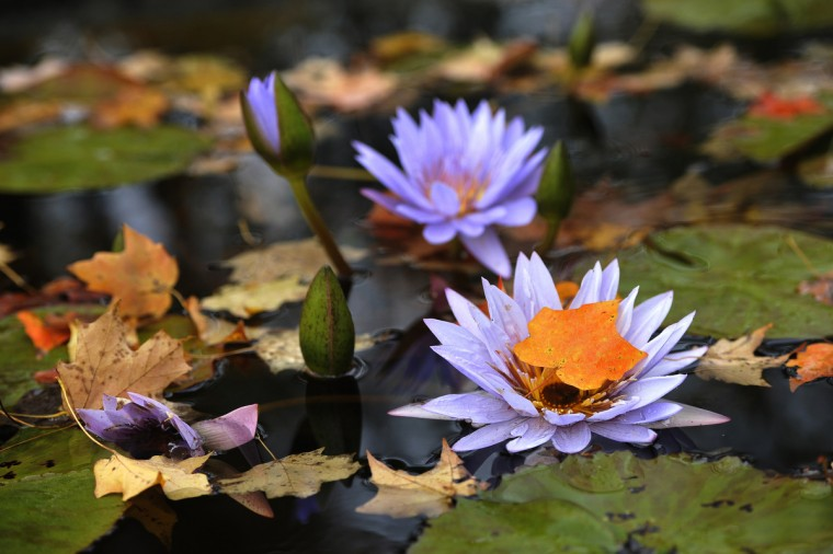 The colors of autumn mix with the pastel hues of water lily blooms in the Water Lily Garden at Ladew Topiary Gardens. (Kim Hairston/Baltimore Sun)