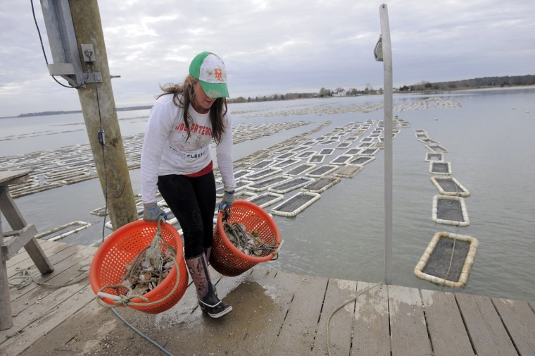 Regan Gifford, with the Choptank Oyster Company, carries buckets of oysters down the pier. The bivalves are grown in floats on four acres of the Choptank River. (Kim Hairston/The Baltimore Sun)