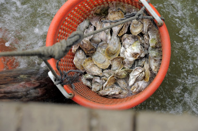 Select oysters from the Choptank Oyster Company are rinsed in the Choptank River. (Kim Hairston/The Baltimore Sun)