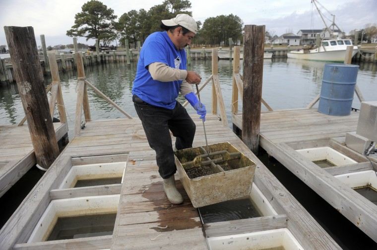 Manuel Garcia, lifts a tub from a floating upweller. Inside the tub are oyster spat that being grown by Chesapeake Gold Oysters. They will eventually be moved to Tar Bay to further develop. (Kim Hairston/The Baltimore Sun)