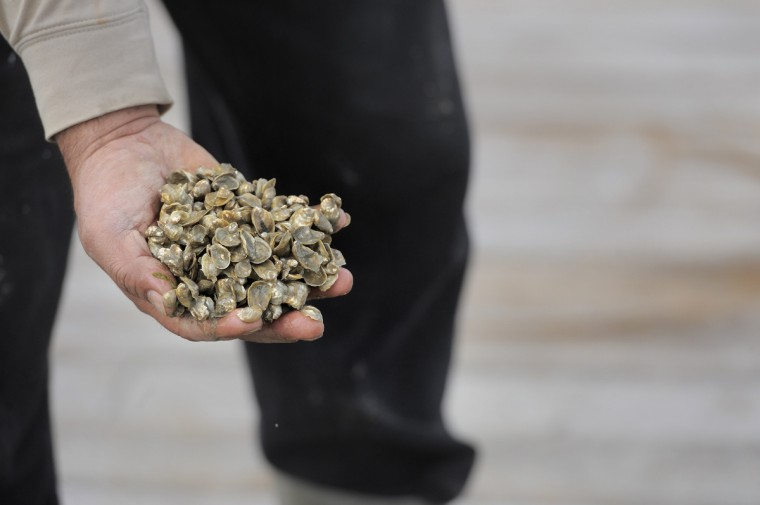 Manuel Garcia, a worker for Chesapeake Gold Oysters, holds a hand full of oyster. The company is farming oysters for the half shell market. (Kim Hairston/The Baltimore Sun)