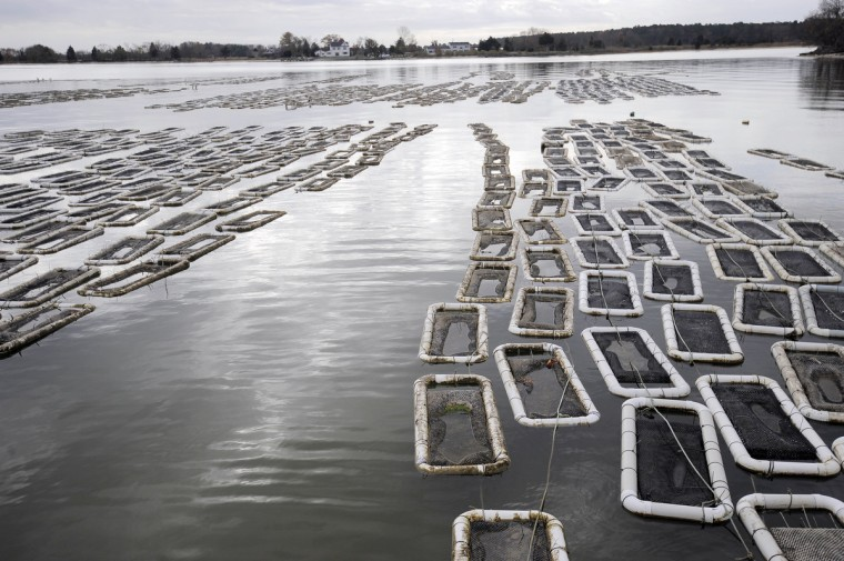 Choptank Oyster Company oyster grow in floats on the surface of the Choptank River. The company sold its first farmed oysters in 2005. (Kim Hairston/The Baltimore Sun)