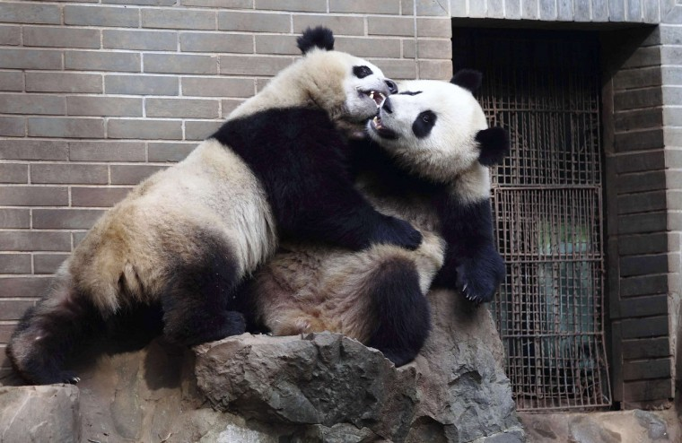 Two-year-old giant panda twins play inside a zoo in Hangzhou, Zhejiang province. (Reuters)