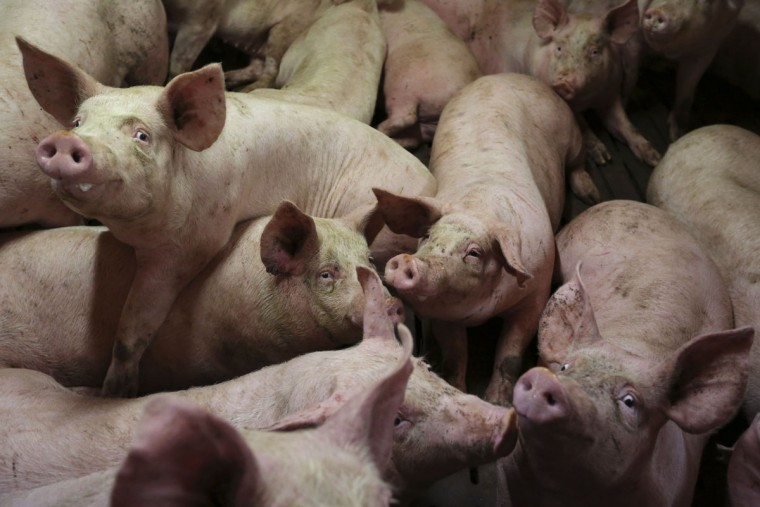 Pigs are seen at a pig farming in Lamballe, central Brittany, November 5, 2013. France's aim to shift nearly one billion euros in European subsidies to help struggling livestock farmers could be stymied by a crisis in the meat processing sector faced with a wave of plant closures in Brittany, leaving more room to competitors. France is the European Union's leader in poultry output and third for pork, with the country's western part hosting the bulk of farmers and industry players, initially attracted by easy access to ports to import feed and boost exports. France is now losing its pole position as Germany, the Netherlands and Belgium gain market shares, even within France itself, by using more efficient tools and often cheaper labour. Picture taken November 5, 2013. (Stephane Mahe/REUTERS)