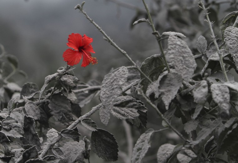A hibiscus flower is seen on an ash-covered plant at Mardingding village in Karo district, Indonesia's north Sumatra province. The volcano continued to emit volcanic ash on Monday, throwing an 8,000m (26,247 ft)-high plume into the atmosphere, as thousands of residents fearful of more eruptions remained in temporary shelters, according to local media. (Roni Bintang/Reuters)